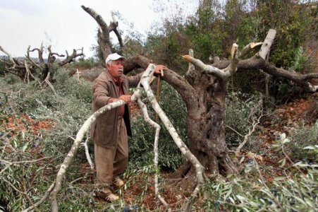 Palestine: Israeli settlers wickedness continues as they uproot 550 Olive tree s